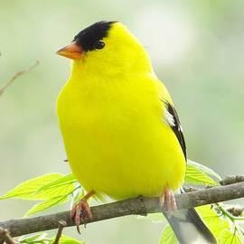 Lori Frisch - Little Yellow Canary