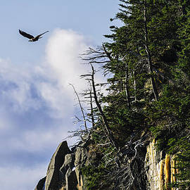 Marty Saccone - Lofty Bald Eagle Surveys Maines Bold Coast