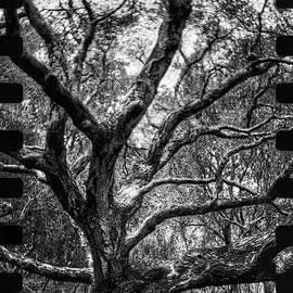 John Aguillon - Lomo Oak #2