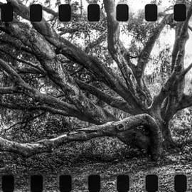 John Aguillon - Lomo Oak