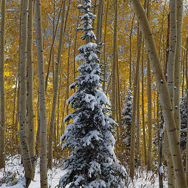 Dustin  LeFevre - Lone Autumn Pine