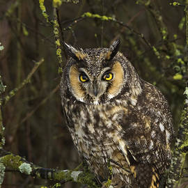 Rob Mclean  - Long eared owl one of three eyelids