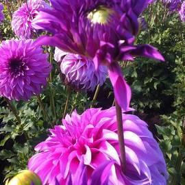 Susan Garren - Look at Me Dahlia Flower