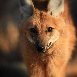 Karol  Livote - Looks Like A Fox