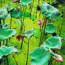 Duy Nguyen - Lotus