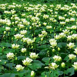 Shawna  Rowe - Lotus Garden