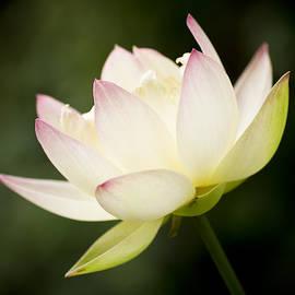 Priya Ghose - Lotus Glow