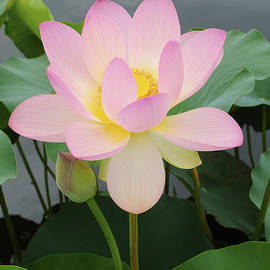 David Lunde - Lotus on a Cloudy Day