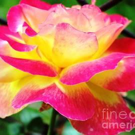 Judy Palkimas - Love And Peace Rose