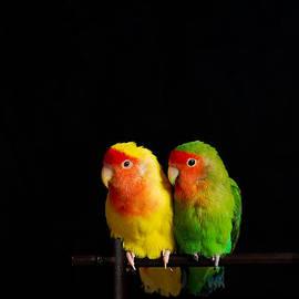 Syed Aqueel - Love Birds