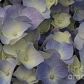 Photographic Art and Design by Dora Sofia Caputo - Lovely in Blue and White - Hydrangea
