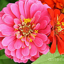 Dora Sofia Caputo - Lovely in Pink and Red - Zinnias