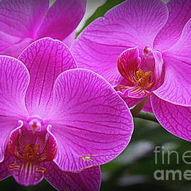 Photographic Art and Design by Dora Sofia Caputo - Lovely in Purple - Orchids