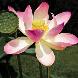Penny Lisowski - Lovely Lotus Blossom