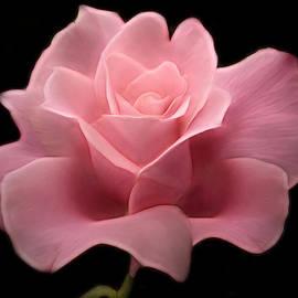 Nina Bradica - Lovely Pink Rose