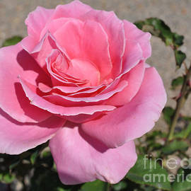 Ruth  Housley - Lovely Pink Rose