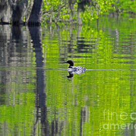 Al Powell Photography USA - Lowcountry Loon