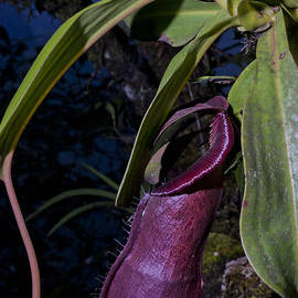 Abel Emha - Lower pitcher of Nepenthes adrianii spec. Nov