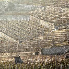 Colleen Williams - Luminous Lavaux Vineyards