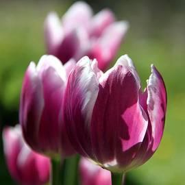 Andrea Lazar - Luminous Plum Tulips