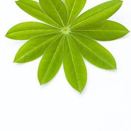 Anne Gilbert - Lupin Leaf