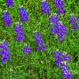 Bob and Nadine Johnston - Lupine at Lake Whitney Texas