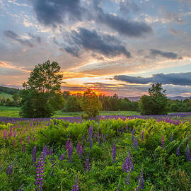 Christopher Whiton - Lupine Sunset Vertical