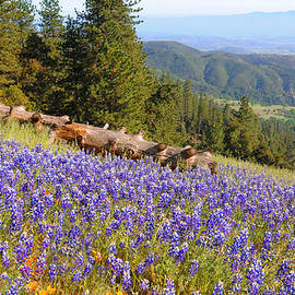 Lynn Bauer - Lupines on Figueroa Mountain