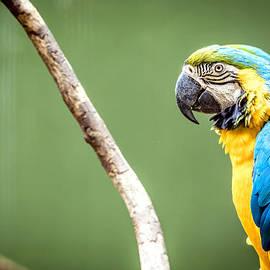 Jijo George - Macaw