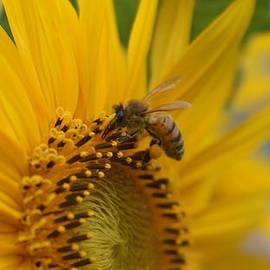 Rob Luzier - Macro of bee on sunflower..
