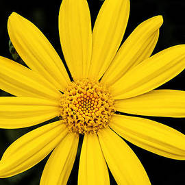 Don Johnson - Macro Yellow Daisy