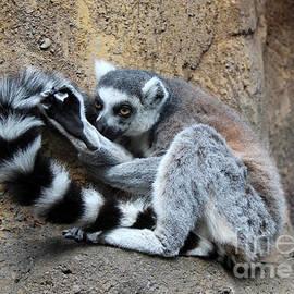 Sergey Lukashin - Madagascar limur