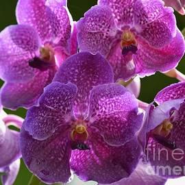Fiona Craig - Magenta Vanda Orchids 1