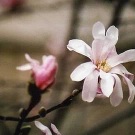 Kay Novy - Magnolia Blooms