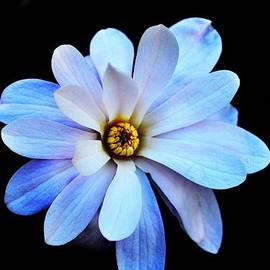 Lisa Holland-Gillem - Magnolia Blossom in Low Light III