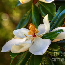 Kathy Baccari - Magnolia Blossom