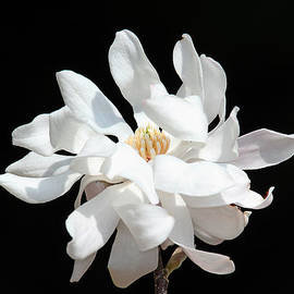 Trina  Ansel - Magnolia Blossom