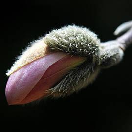 Trina  Ansel - Magnolia Bud