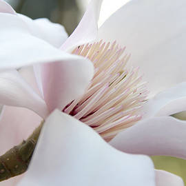 Jennie Marie Schell - Magnolia Flower Blossom in Soft Focus
