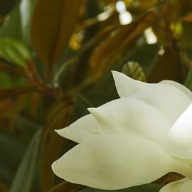 Pamela Patch - Magnolia Tree Closeup