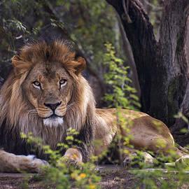 Dave Dilli - Majestic Lion