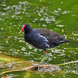 Al Powell Photography USA - Majestic Moorhen