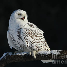 Inspired Nature Photography By Shelley Myke - Majestic Whisper - Snowy Owl