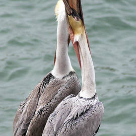 Darleen Stry - Male Brown Pelican Neck Exercise