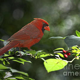 Debbie Portwood - Male Cardinal on Dogwood branch