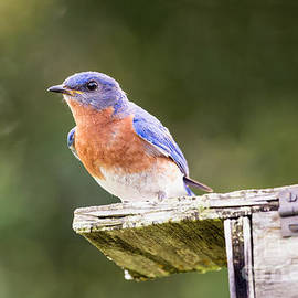 Dawna  Moore Photography - Male Eastern Bluebird Guarding His Nest