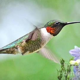Kathy Baccari - Male Hummingbird Hovering Over Lavender Lapspar Flowers