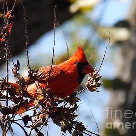 Sara  Raber - Male Northern Cardinal