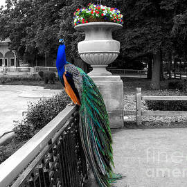 Thomas Woolworth - Male Peacock Bird Selective Coloring