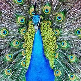 Cynthia Guinn - Male Peacock